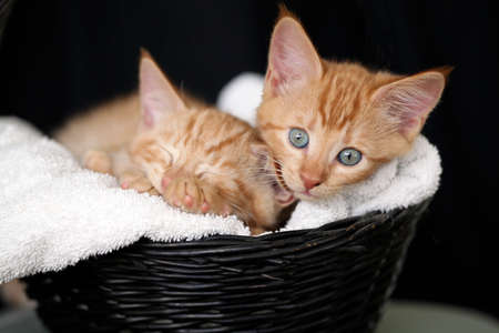 Two sleepy kittens in a black basket with a white towel