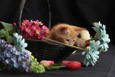 Little red kitten playing with flowers and sleeping in a black basket with a white towel. Black background