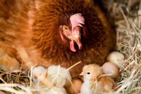 Hen with her baby chickens in the nest. Stock Photo - 5498464