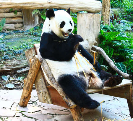 Giant panda posing for camera and eating bamboo Stock Photo