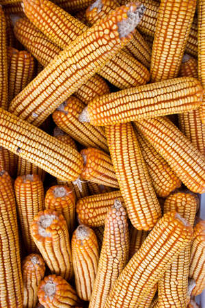 yellow corn photo