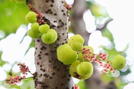 Star Gooseberry On Tree Stock Photo