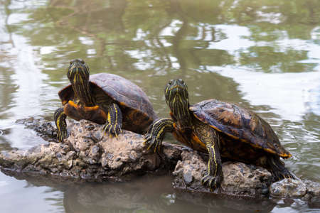 A common snapping Turtles on the rock in the pond