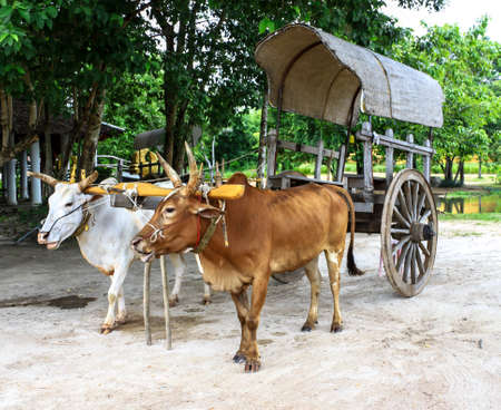 in ox: Ox Cart in thailand