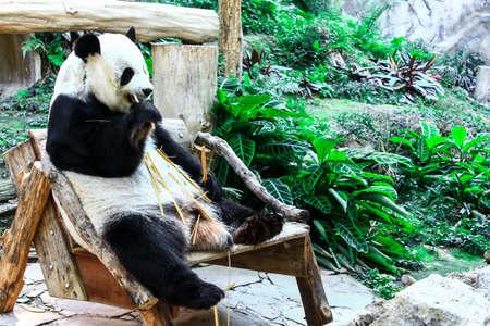 A relax Panda is enjoying Stock Photo