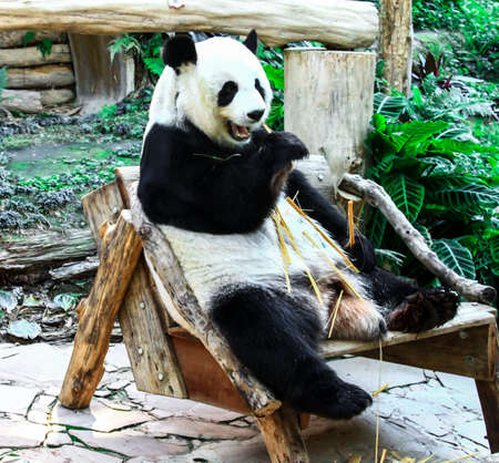 quadruple: Panda eating in a relaxed