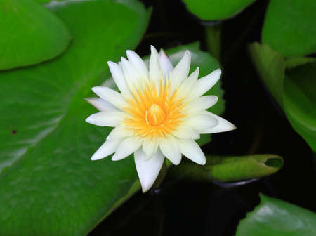 Close up image of white lotus photo
