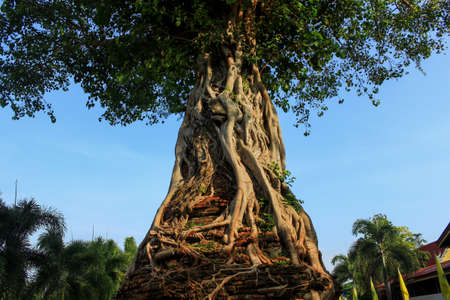 The Banyan tree on the pagoda at Ayutthaya, Thailand photo