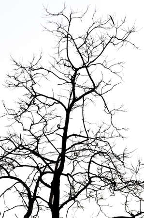 Dead Tree isolate white background photo