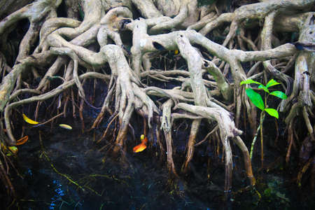 thapom: The root of the mangrove forest, Krabi, Thailand