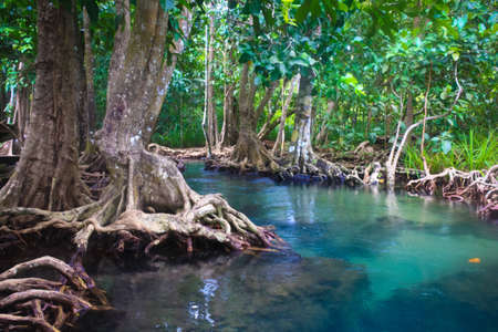 The root and crystal stream of the mangrove forest, Krabi, Thailand photo