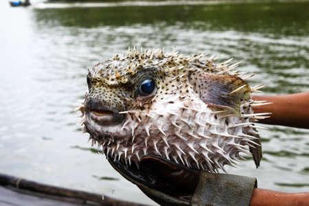pez globo: Blowfish o pez globo