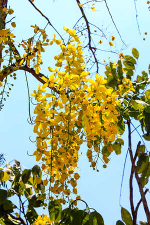 Golden shower tree  Cassia fistula  National tree of Thailand