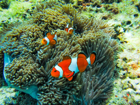 Several Clownfish in anemone Stock Photo