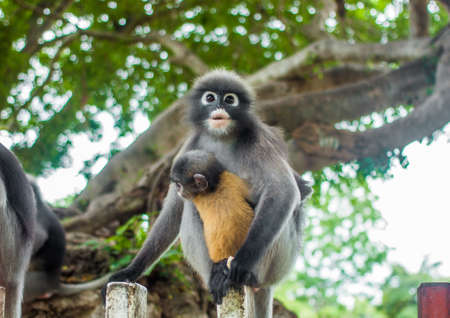 dusky: Dusky Leaf Monkey in deep forest