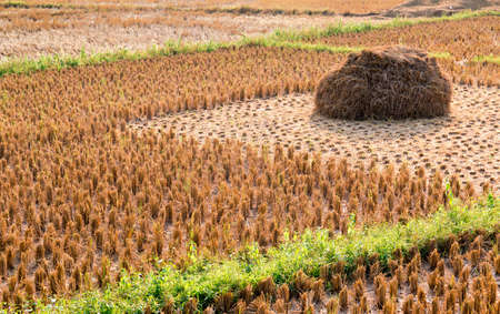 Rice straw field on harvested agricultural field Stock Photo