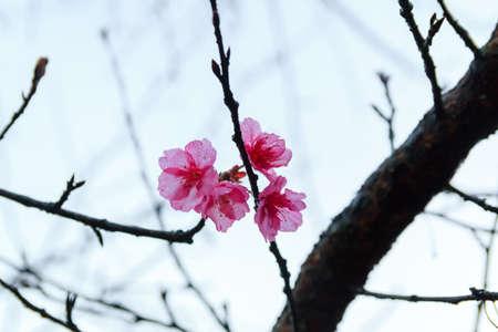 Pink flowers. beautiful cherry blossom ,ChiangMai north of thailand