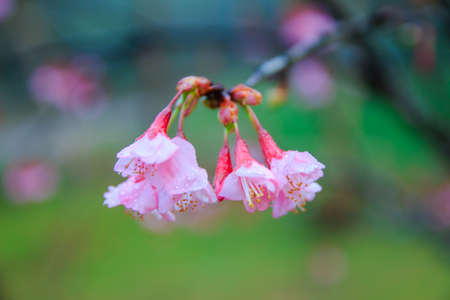 Cherry Blossom and Sakura in the northern of Thailand