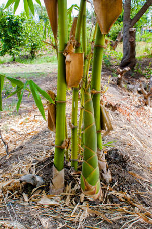 bamboo shoots in the bamboo forest