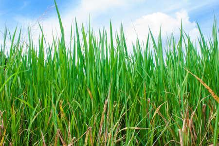 Rice field green grass landscape background