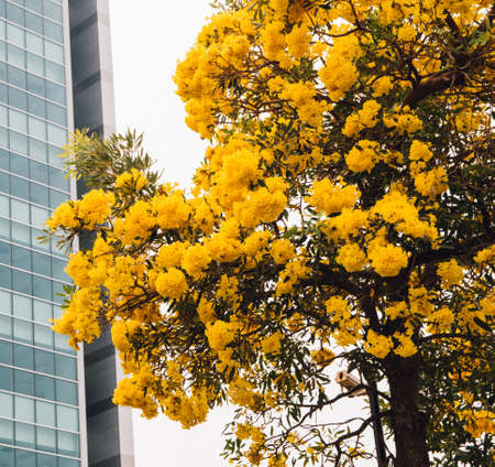 golden yellow flower blossom tree blossom in spring time