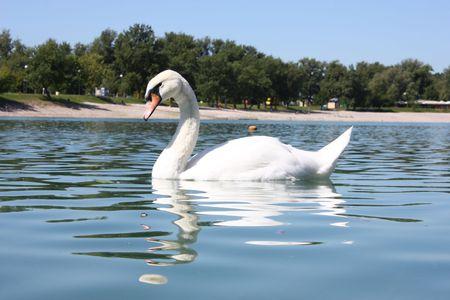 big beautiful swan on the lake Jarun, Zagreb Stock Photo - 6011235