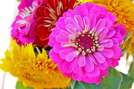 Colorful zinnia flower isolated against the softly muted shades of the other flowers in the garden photo