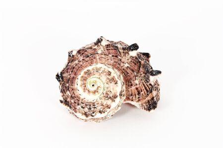 One seashell isolated on white photo