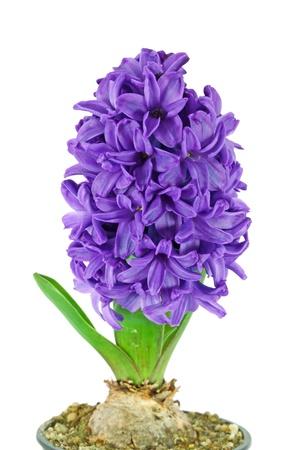 白で隔離される 1 つの美しい紫のヒヤシンス