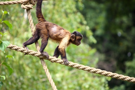 Small brown capuchin monkey on the ropes Stock Photo
