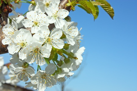 White pear flowers in the spring time photo