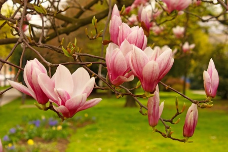 Pink flowers of magnolia in spring photo