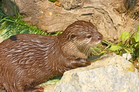 An oriental small-clawed otter taking a break after game Stock Photo - 10463014