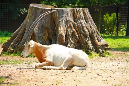scimitar: Scimitar horned oryx (Oryx dammah) lying in front of big stump, picture taken in zoo