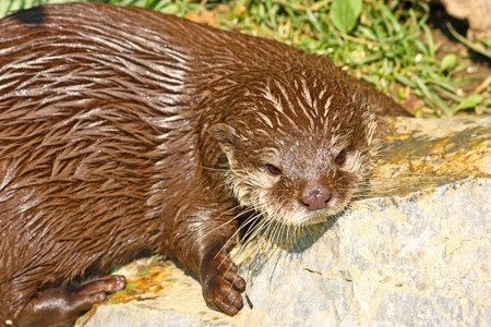 An oriental small-clawed otter taking a break after game Stock Photo - 11030050