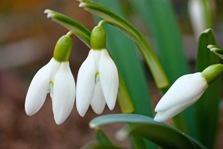 Snowdrops, little spring flowers with soft background photo
