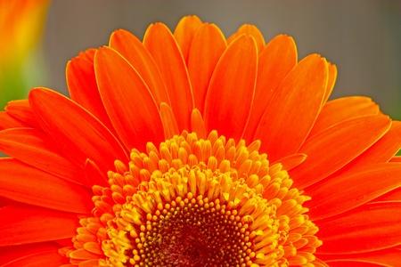 Flower of an orange gerber close-up photo