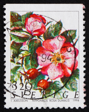 SWEDEN - CIRCA 1994: a stamp printed in the Sweden shows Nyponros Rosa Dumalis, Rose Flowers, circa 1994 Stock Photo - 11926002