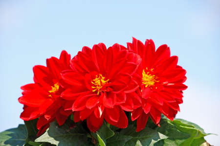 Red dahlia in front of blue sky photo