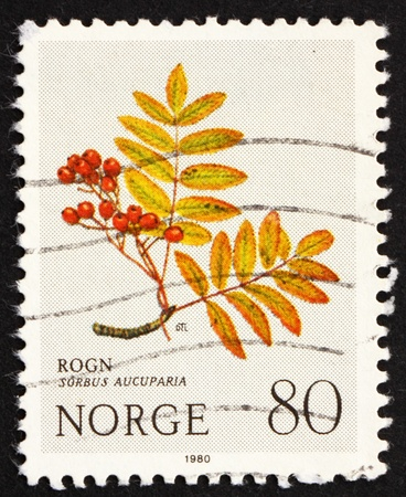 sorbus aucuparia: NORWAY - CIRCA 1980: a stamp printed in the Norway shows European Rowan, Sorbus Aucuparia, Mountain Flower, circa 1980