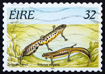 IRELAND - CIRCA 1995: a stamp printed in the Ireland shows Smooth Newt, circa 1995 photo