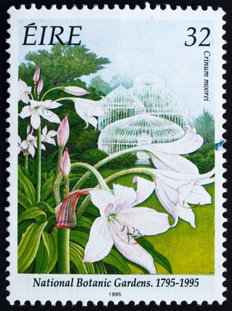 IRELAND - CIRCA 1995: a stamp printed in the Ireland shows Natal Lily, Crinum Moorei, Bicentennial of National Botanic Garden, circa 1995