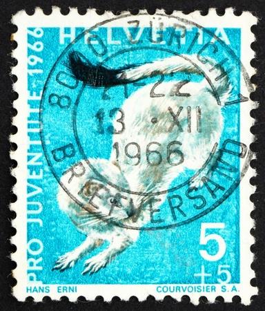 ermine: SUIZA - CIRCA 1966: un sello impreso en la muestra Suiza, armi�o, erminea Mustela, la comadreja de cola corta, alrededor del a�o 1966
