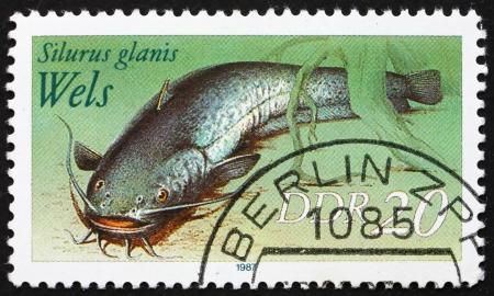 sheatfish: GDR - CIRCA 1987: un sello impreso en la RDA muestra siluro, los siluros, los Silurus glanis, alrededor del a�o 1987 Editorial