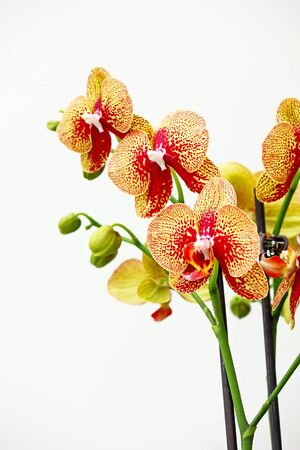Branch of red orchid flowers on white photo
