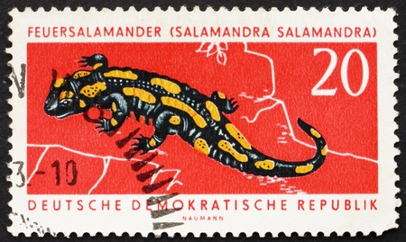 GDR - CIRCA 1963: a stamp printed in GDR shows Fire Salamander, Salamandra Salamandra, circa 1963