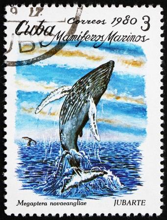 megaptera novaeangliae: CUBA - CIRCA 1980: a stamp printed in the Cuba shows Cuviers Humpback Whale, Megaptera Novaeangliae, Marine Mammal, circa 1980