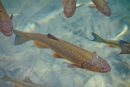 Big trout swimming in crystal clear water of Plitvice Lakes 스톡 콘텐츠