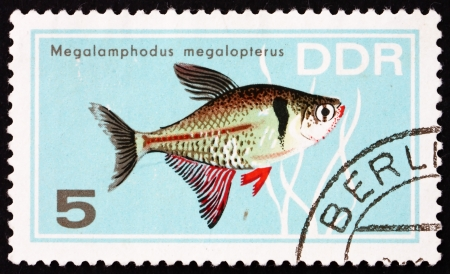 ddr: GDR - CIRCA 1966: a stamp printed in GDR shows Megalamphodus Megalopterus, Tropical Fish, circa 1966