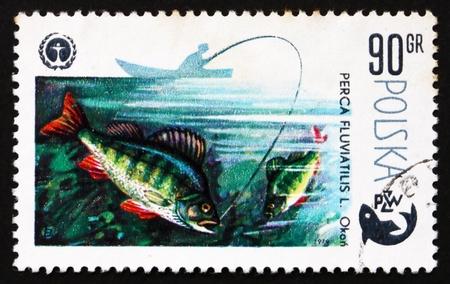 perca: POLAND - CIRCA 1979: a stamp printed in the Poland shows Perch, Perca Fluviatilis L., Fish, Centenary of Polish Angling, Protection of Environment, circa 1979 Editorial